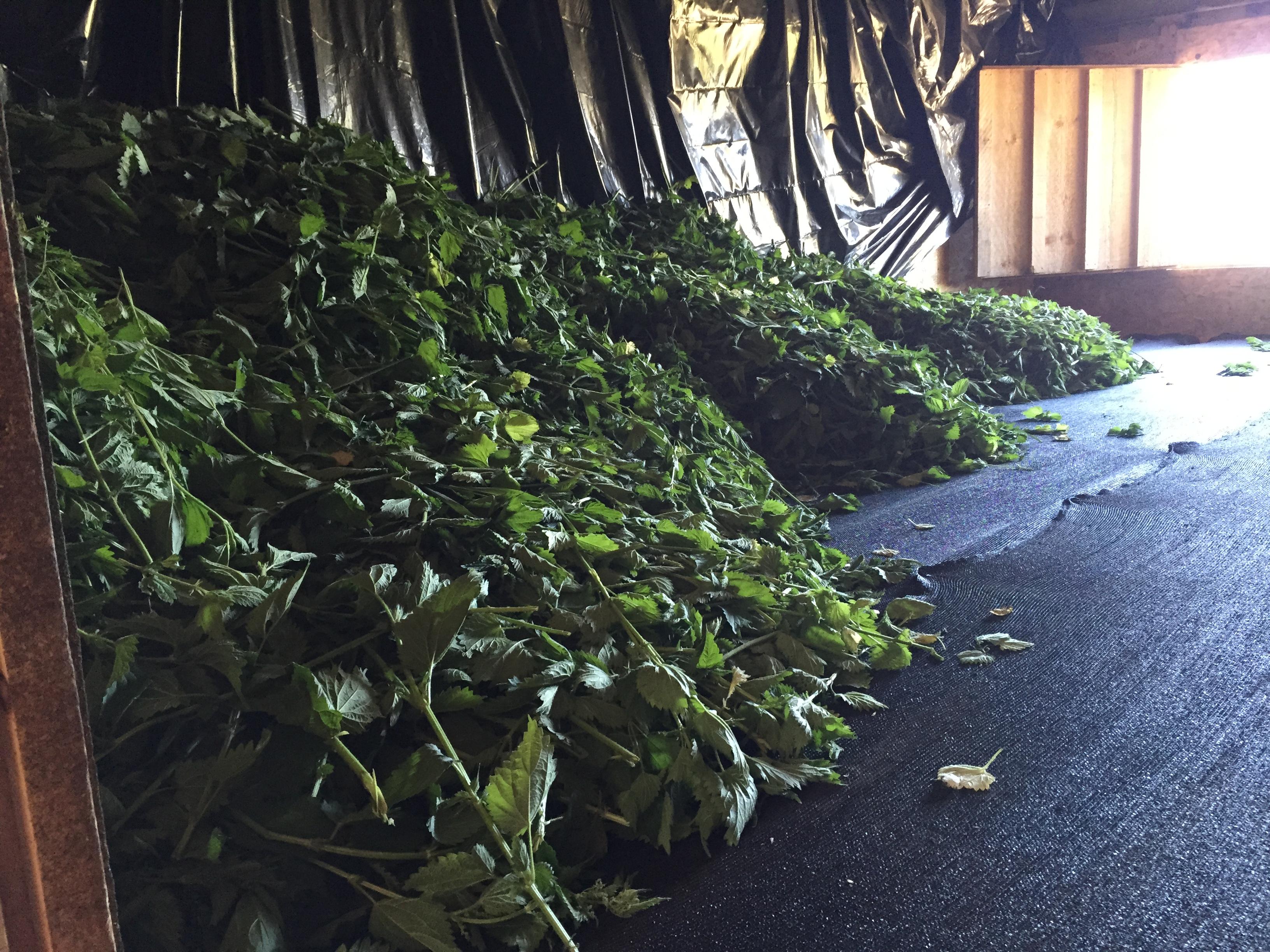Stinging Nettles drying